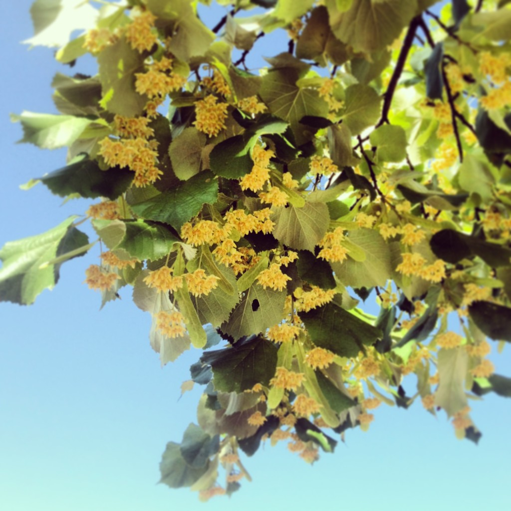 Linden tree branch... mmmm...those blooms smell good!