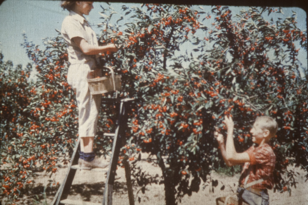 Circa 1960 - Monica and Edmund - cherry picking